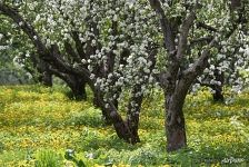 Blooming apple orchards