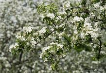 Blooming of apple tree