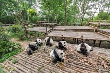 Pandas in the Giant Panda Cub Enclosure