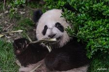 Panda is eating bamboo