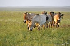 French harem group of Przewalski's horses in the Reintroduction Center in the Pre-Ural Steppe