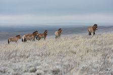 Harem group of Przewalski's horses. Pre-Ural Steppe