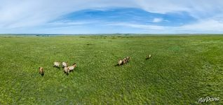 Northern part of Pre-Ural Steppe. Przewalski's horses