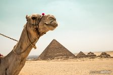 Camel and the pyramids