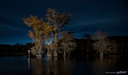 Bald cypress lake at night