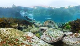 Larga seals in the waters of the Sea of Japan