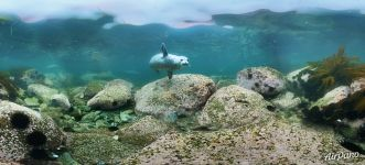 Diving with spotted seals