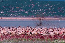 Flamingo, Kenya, Lake Bogoria #10