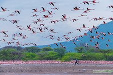 Flamingo, Kenya, Lake Bogoria #26