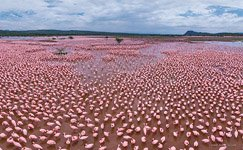 Flamingo, Kenya, Lake Bogoria #6