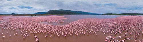Flamingo, Kenya, Lake Bogoria #8