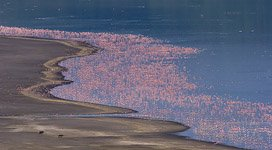 Flamingo, Kenya, Lake Bogoria #4
