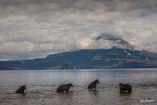 Bears in the Kurile lake
