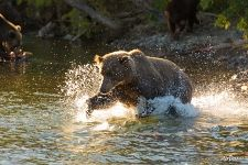 Bear is fishing