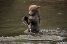 Little bear on its hind legs