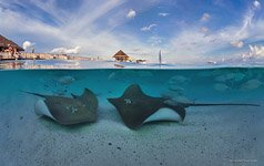 Underwater Maldives. Stingrays