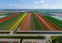 Tulip fields in Netherlands #3