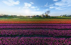 Tulip fields in Netherlands #1