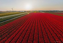 Tulip fields in Netherlands #8