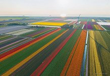 Tulip fields in Netherlands #5