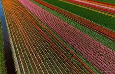 Tulip fields in Netherlands #12